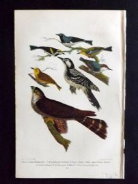 Alexander Wilson 1877 Print Red-Cocaded Woodpecker, Brownheaded Nuthatch, Pigeon